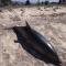 Намериха мъртво делфинче на плажа край Офриниу
