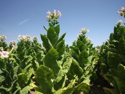 Производители на тютюн успяха да осъдят държавата