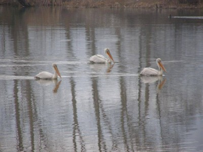 Започва преброяване на водолюбивите птици по река Места и край язовир Доспат, ловците да бъдат внимателни