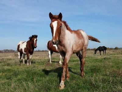 Състезание с тежкотоварни коне на Тодоровден край Гоце Делчев