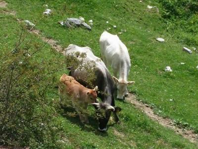 Обезщетяват стопаните на унищожени болни животни от нодуларен дерматит
