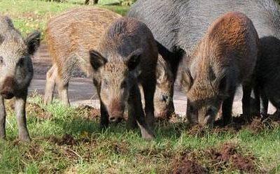 Стадо диви прасета причини тежка катастрофа между Серес и Драма