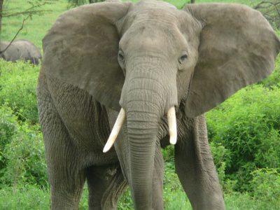 Мъж от село Абланица отърва глоба за транспортиране на забранени слонски бивни от Португалия
