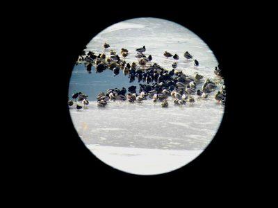 Над 150 вида водолюбиви птици зимуват в България