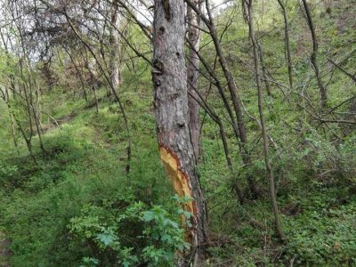 Крадци на борина унищожават гората на Хамам баир