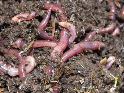 Млад фермер от Гоце Делчев се жали, че не му отпускат субсидия за отглеждане на калифорнийски червеи,  в нивата му червеи няма