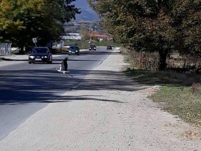Закъснял щъркел се разхожда из шосето край Гоце Делчев