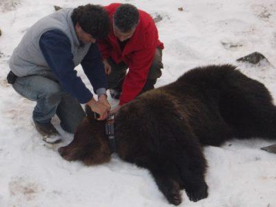 Как хората спасиха мечката Кристина, която падна в клопката на празен резевоар в гората край границата