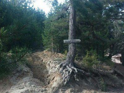 Опасен бор в село Попови ливади ще бъде отсечен