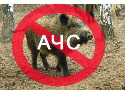 Как ловците да помагат срещу африканската чума по свинете в България
