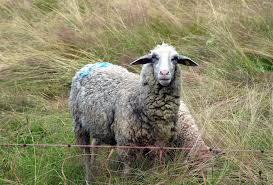 Съмнения за чума по овцете в с. Мосомище, БАБХ отрече да има болни животни