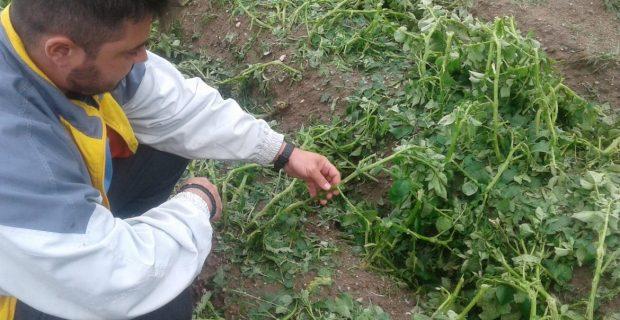 Градушка унищожи над 2000 декара земеделска реколта в пограничните села Перитори и Охиро