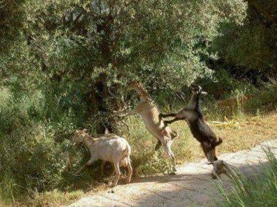 Кози унищожават красивия Самотраки