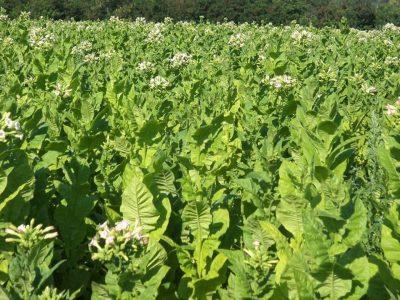 Документи за субсидия за тютюн ще се подават в село Господинци, а не в службата по земеделие в Гоце Делчев