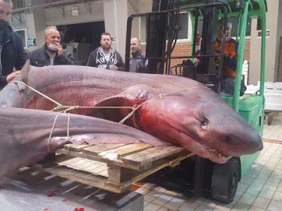 330 килограмова акула уловиха край Кавала