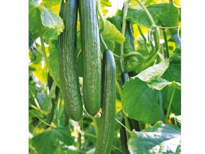 Изпитани съвети за добра реколта от краставици