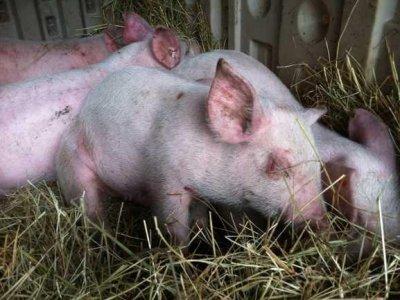 Мерки срещу африканска чума по свинете и инфлуенца по птиците на територията на община Гоце Делчев